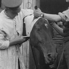 Животные в Первой мировой войне