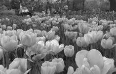 Телеканал «365 дней ТВ» приглашает на XVII Весенний фестиваль цветов