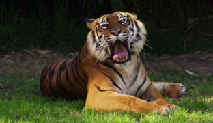 Возрождение тигра